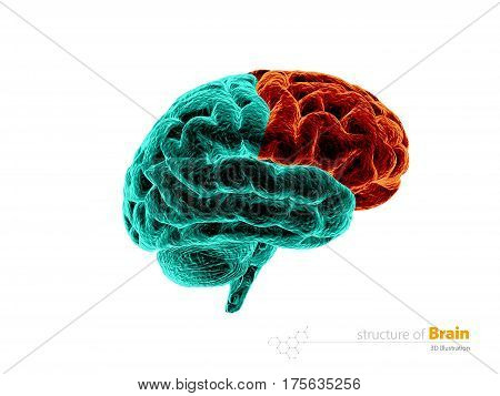 Human brain frontal lobe anatomy structure. Human brain anatomy 3d illustration. isolated withe