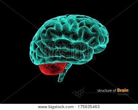 Human brain cerebelum, anatomy structure. Human brain anatomy 3d illustration.
