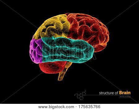 Human brain anatomy structure. Human brain anatomy 3d illustration.