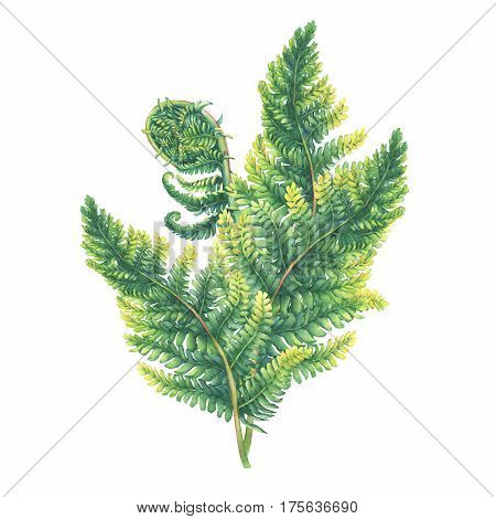 Foliage plants fern green. Polypodiopsida. Hand drawn watercolor painting on white background.