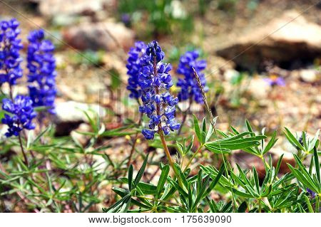 Closeup shows the purple blooms of Silvery Lupine on the rocky hillside of Beartooth Pass in Wyoming.