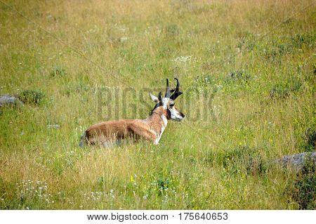 Pronghorn Has Antlers
