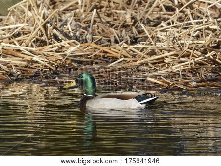 A male Mallard (Anas platyrhynchos), known as a drake, swimming on a pond in Carroll County Maryland, USA, shown in left profile.