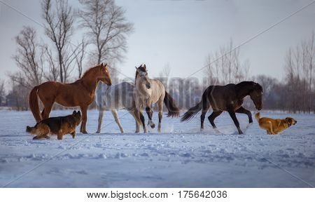 Herd of several horses play with dogs in snow