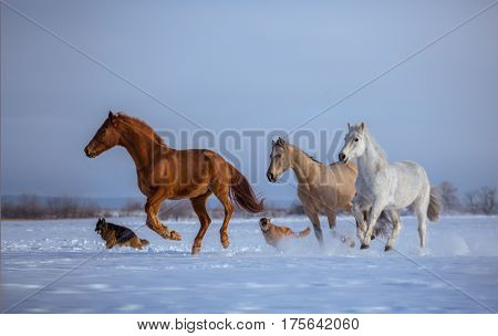 Herd of several horses with dogs run on snow on blue sky background