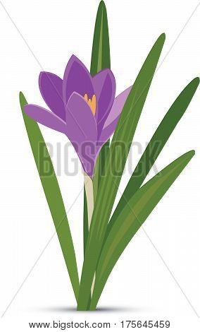 Violet spring crocus - Illustration Saffron, April, Backgrounds, Blue, Crocus