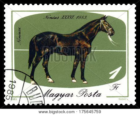 STAVROPOL RUSSIA - March 04 2017: a stamp printed by Hungary shows horse Nonius - 36 bicentenary of horsebreeding at Mezohegyes circa 1985