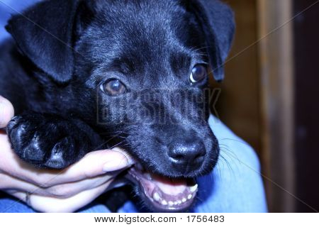 The Black Biting Restless Puppy