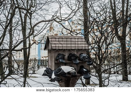 Pigeons in front of the palace in Tsarscoe selo Pushkin Saint Petersburg