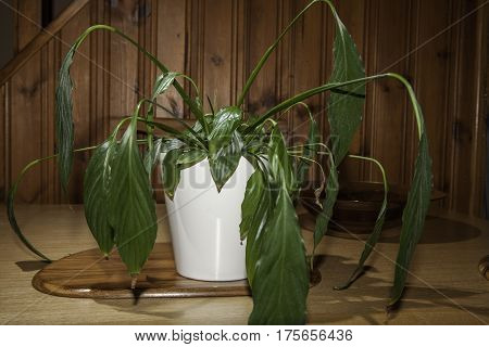 Dehydrated Peace Lily (Spathiphyllum) house plant with drooping flaccid leaves. Wilting and in need of water.