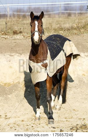 Thoroughbred saddle horse in blanket standing in the corral wintertime