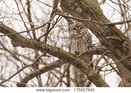 A Barred Owl hidden in the trees in a forest in Wisconsin.