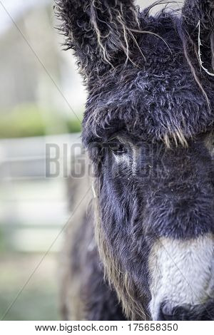 Poitou donkey with great hair! Face on with potential copy space to the side.