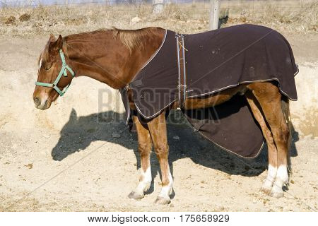 Side view portrait of thoroughbred saddle horse in bridle and blanket at animal farm