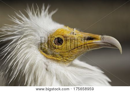Egyptian vulture (Neophron percnopterus) head in close up profile. A small Yellow-faced old-world vulture