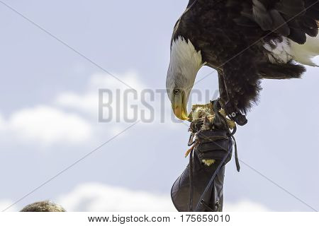American bald eagle in the leather gloved-hand of a falconer at a bird of prey display. Falconry at its best summed up by this great poster image with natural sky copy space.