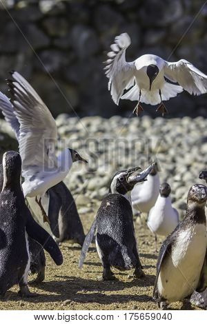 Black-footed penguins (Spheniscus demersus) being mobbed by black-headed gulls (Chroicocephalus ridibundus) for fish. Does this penguin get to finish his meal?