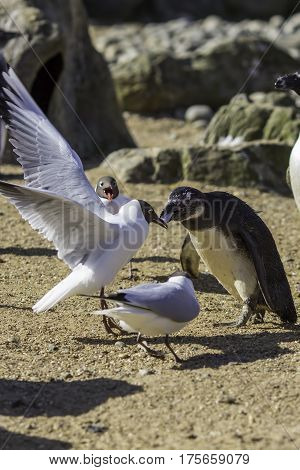 Black-headed gull (Chroicocephalus ridibundus) stealing food from a black-footed penguin (Spheniscus demersus). One fish two birds who will win?