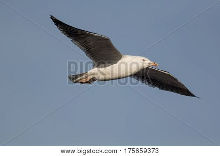 Seagull flying against pale blue sky. Gull in flight with level wings. Copy space.