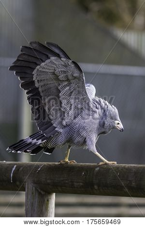 African harrier hawk (Polyboroides typus) or gymnogene balancing on a log fence with wiings spread out. Majestic looking bird of prey used in falconry and at bird of prey displays