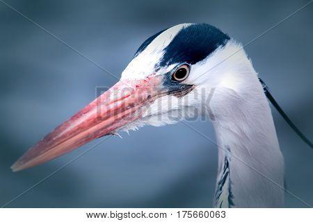 Grey heron (Ardea cinerea) head. Aesthetic wildlife image. Beautiful bokeh with selective focus on eye.