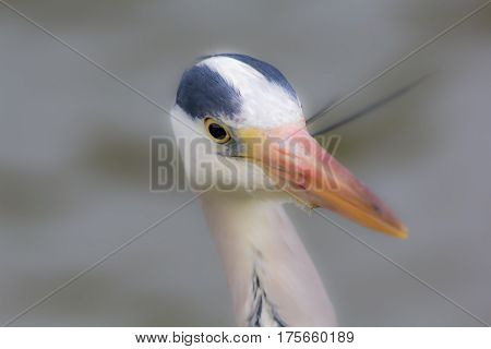 Grey Heron (Ardea cinerea) soft focus image (selective focus on eye) Serene dreamy image with blurred background copy space.