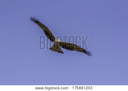 Adult male red kite (Milvus milvus) bird of prey in flight. Flying towards the camera with wings spread. Plain blue sky background providing copy space.