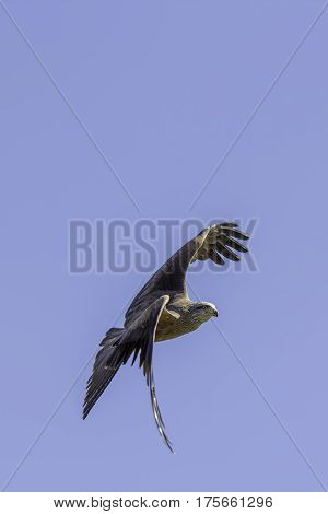 Red kite (Milvus milvus) bird of prey maneuvring to turn in flight. Flying against a plain blue sky which provides copy space.