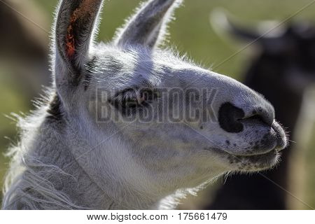 Close up of a pretty Llama face. White or gray llama with long eyelashes and pink eye. Casual glance from a curious animal.
