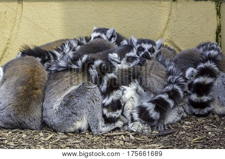 Animals huddled together to share body heat. A group of ring-tailed lemurs (called a conspiracy of lemurs) huddling together in a tightly packed bunch. Preserving body heat.
