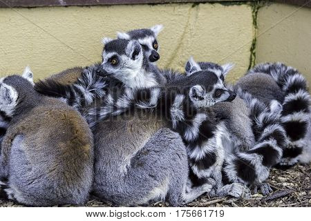 Huddle of ring-tailed lemurs keeping warm. A group of lemurs known as a conspiracy of lemurs preserving body heat in a tightly packed group.