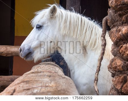 Portrait of white pony with beautiful mane