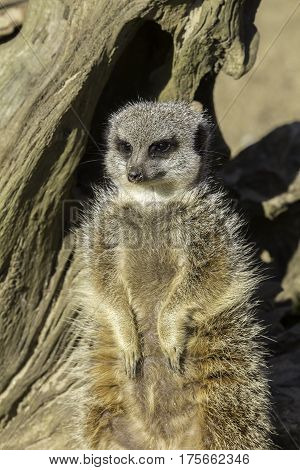 This female meerkat ( Suricata suricatta) is matriarch of the group.