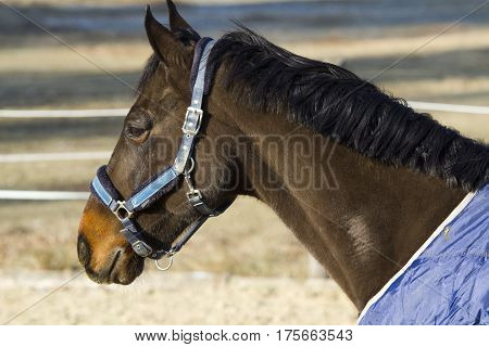 Thoroughbred sadlle horse in blanket standing in the corral wintertime