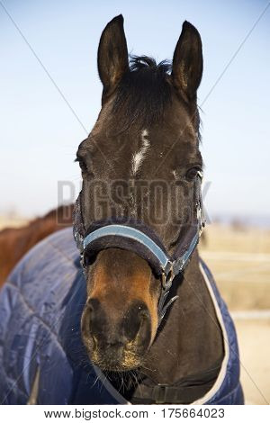 Front view portrait of a young bay colored stallion wintertime