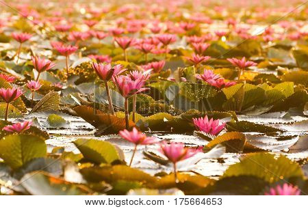 Water Lily in the lake / Nymphaea lotus Linn.