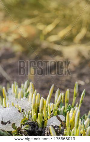 Snowdrop spring flowers. White  delicate snowdrop flower