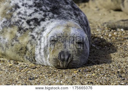 Tired fat grey seal (Halichoerus grypus) sleeping. This large seal is fast asleep on the hot beach.