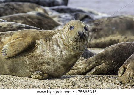 Grey seal during annual moulting. Shedding its brown skin fur. This animal is part of he Horsey wild seal colony on the East coast of the UK. poster