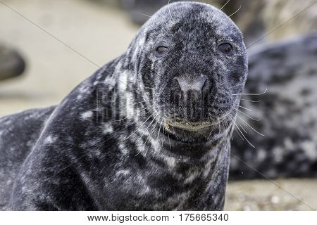 Close-up of a seal face. This beuatiful large grey seal is looking at the camera with a sandy face. From the Horsey wild seal colony.