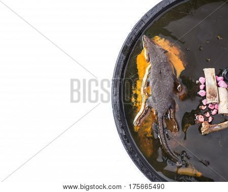 Top view a rat in glue trap isolated on white background