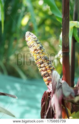 Agriculture. Organic Flint corn in the farm