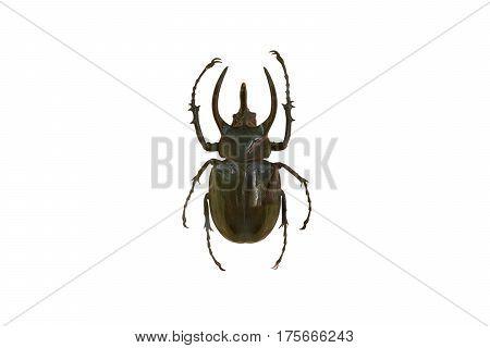 Giant rhinoceros beetle / Chalcosoma caucasus isolated