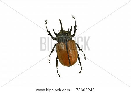 Yellow five-horned beetle isolated on white background