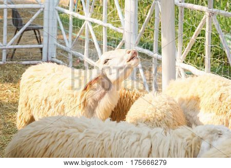 Sheep in a white wooden cage / farm animal