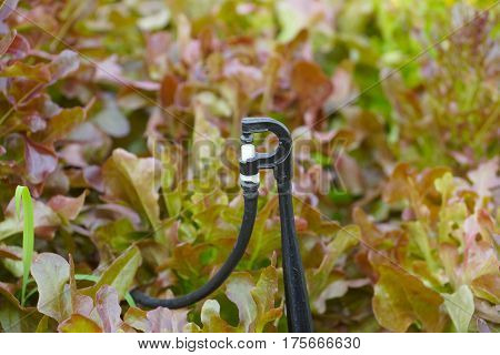 A Watering tool for hydroponic vegetable in the farm