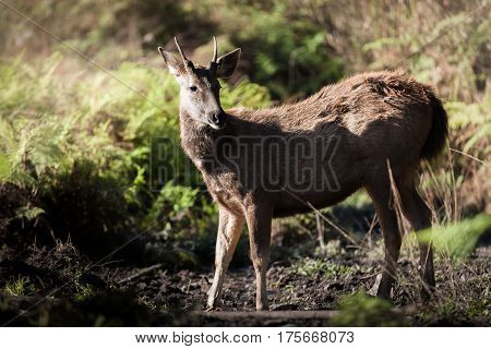 Wild Deer, Whitetail in the forest ,