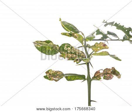 Green Leaf Of Kaffir Lime Leaves Showing Canker Problem. Studio Shot Isolated On White