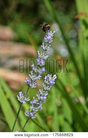 Bright lilac lavender - blossoms in the green garden with bumblebee (  Lavandula angustifolia  )