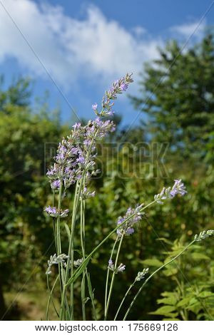Bright lavenders - blossoms in the garden with blue sky  (  Lavandula angustifolia  )